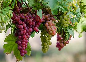anggur.jpg