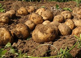 kentang.jpg